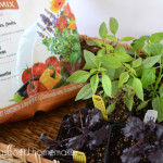 Container Gardening: How to Grow Peppers and Basil in a Pot