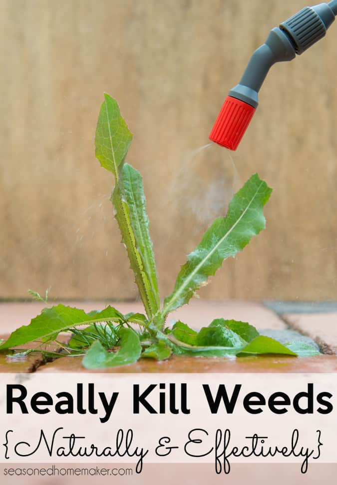Learn how to get rid of weeds naturally using a Vinegar Weed Killer.  Follow my recipe and keep your soil healthy while getting rid of weeds. #organicgardening #naturalweedkiller #vingearweedkiller