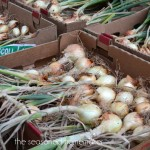 How to Grow Onions ~ How to Store Onions