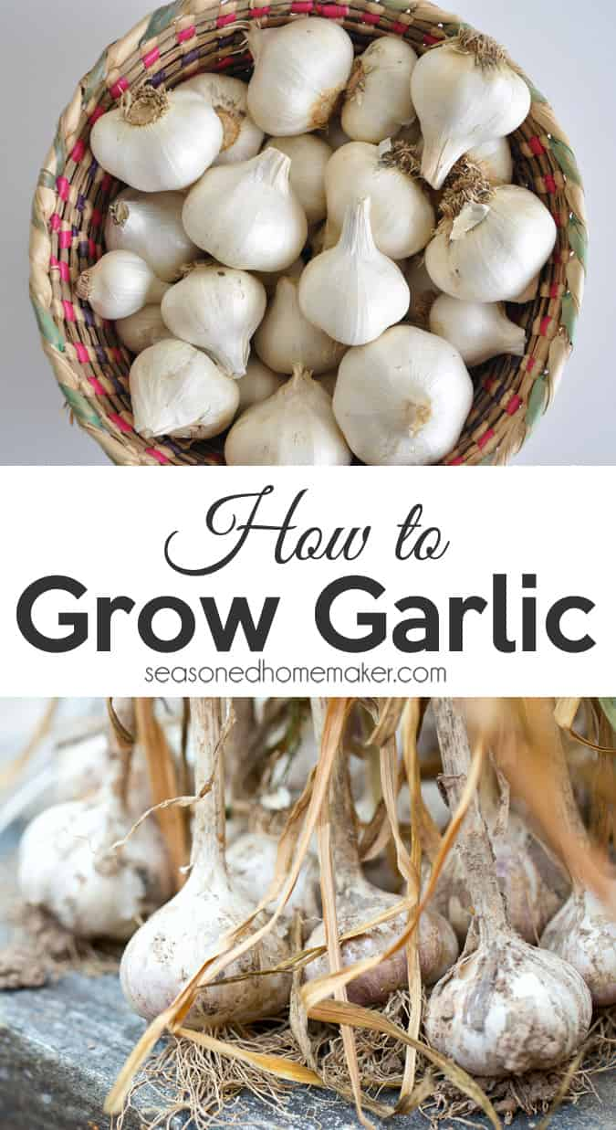 how to grow garlic in a container the seasoned homemaker. Black Bedroom Furniture Sets. Home Design Ideas