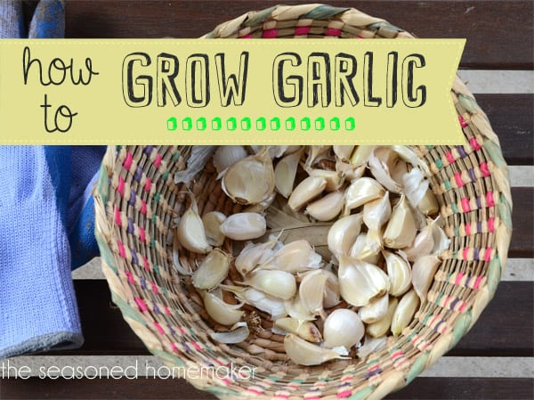 grow garlic in a container the seasoned homemaker. Black Bedroom Furniture Sets. Home Design Ideas