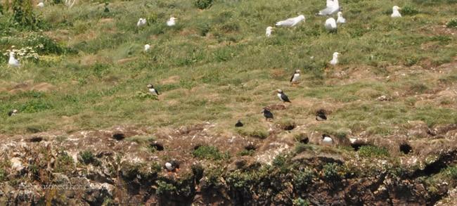 Newfoundland Puffins