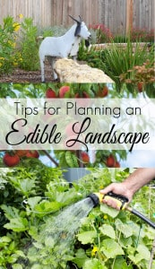 If you don't have room for a vegetable garden you may want to consider creating an Edible Landscape. Use fruits and vegetables as your feature plants and your garden landscape will be both beautiful and practical.
